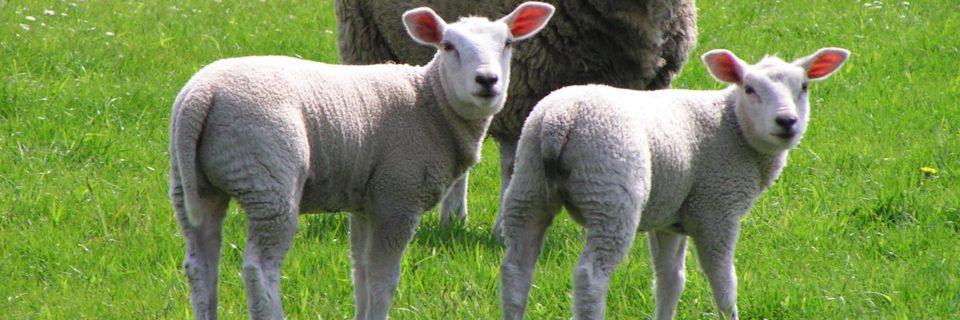 Det bedste til dine geder & får